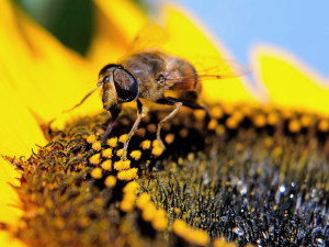(FILES) This September 4, 2013 file photo shows a honey bee as it gathers pollen from a sunflower in Godewaersvelde, France. Canada's Ontario province announced on November 25, 2014 plans to restrict the use of controversial pesticides believed to be responsible for mass deaths of bees, in order to safeguard crops. The restrictions are opposed by the chemical industry which says neonicotinoid pesticides are vital for protecting corn and soy crops from insects. The pesticides are less harmful to people and the environment than other chemicals, the chemical industry says. Ontario could become the first jurisdiction in North America to regulate neonicotinoid pesticides, while Europe is halfway through a two-year moratorium on their use. AFP PHOTO / PHILIPPE HUGUENPHILIPPE HUGUEN/AFP/Getty Images 0630-biz-xFPbees